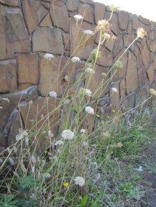 weeds_Oregon