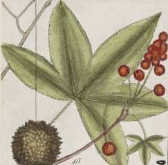 Catesby_sweetgum_drawing