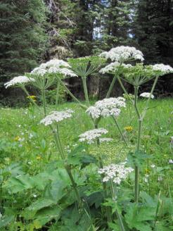 Not Queen Anne's Lace