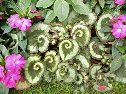 Swirly leaf Stan Hywet