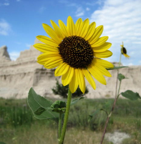 Badlands flowers 3